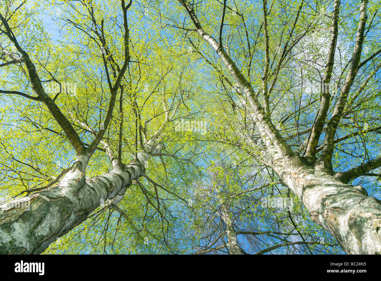 Looking up through silver birch trees with spring growth contrasting with white tree trunks. - Stock Image