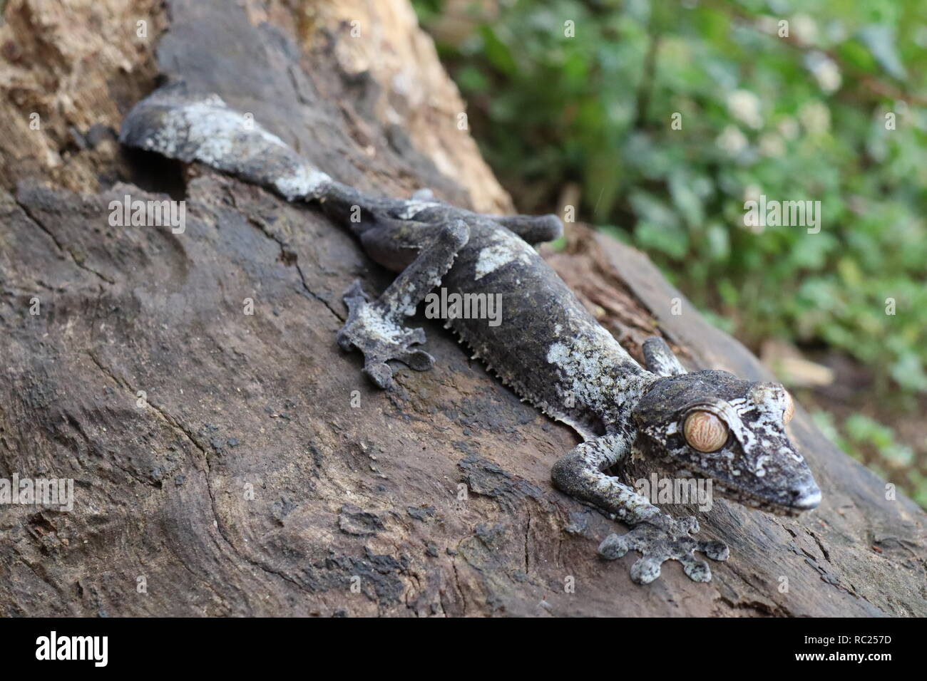 Uroplatus gecko from Madagascar - Stock Image