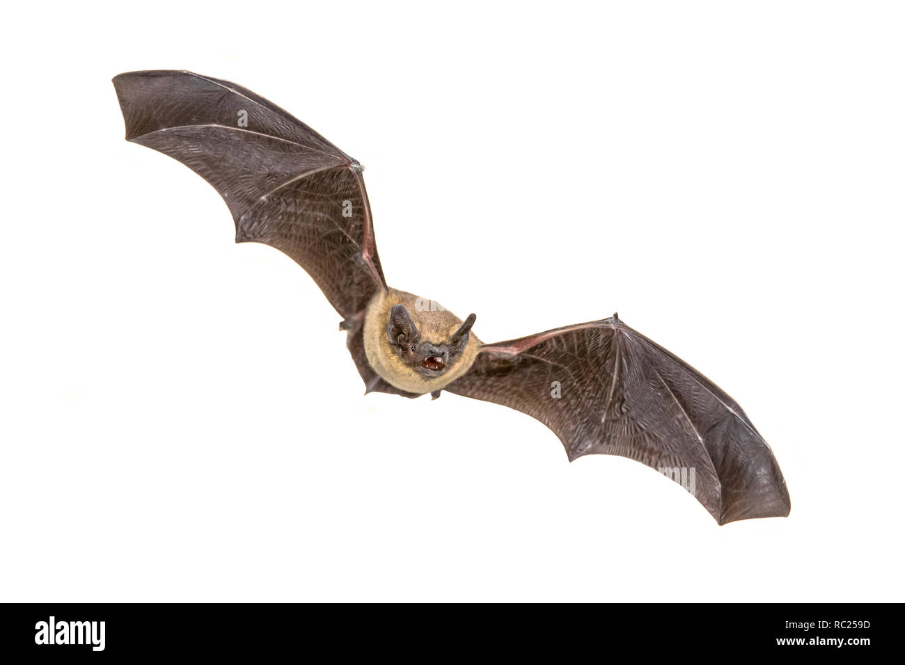 Flying Pipistrelle bat (Pipistrellus pipistrellus) action shot of hunting animal isolated on white background. This species is know for roosting and l - Stock Image