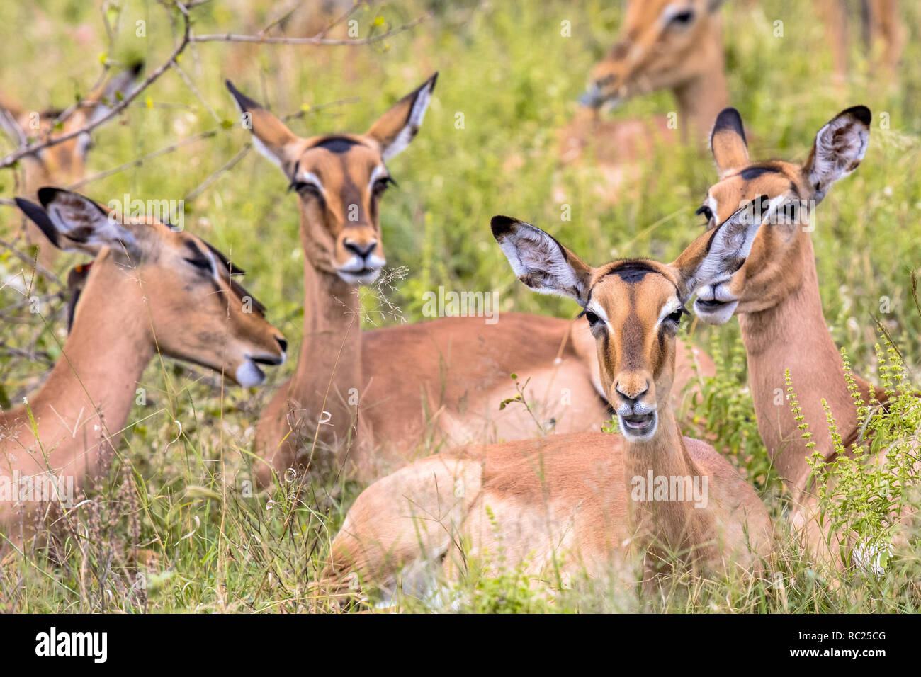 Impala (Aepyceros melampus) female group resting and ruminating in long green savanna grass in Kruger National park, South Africa - Stock Image