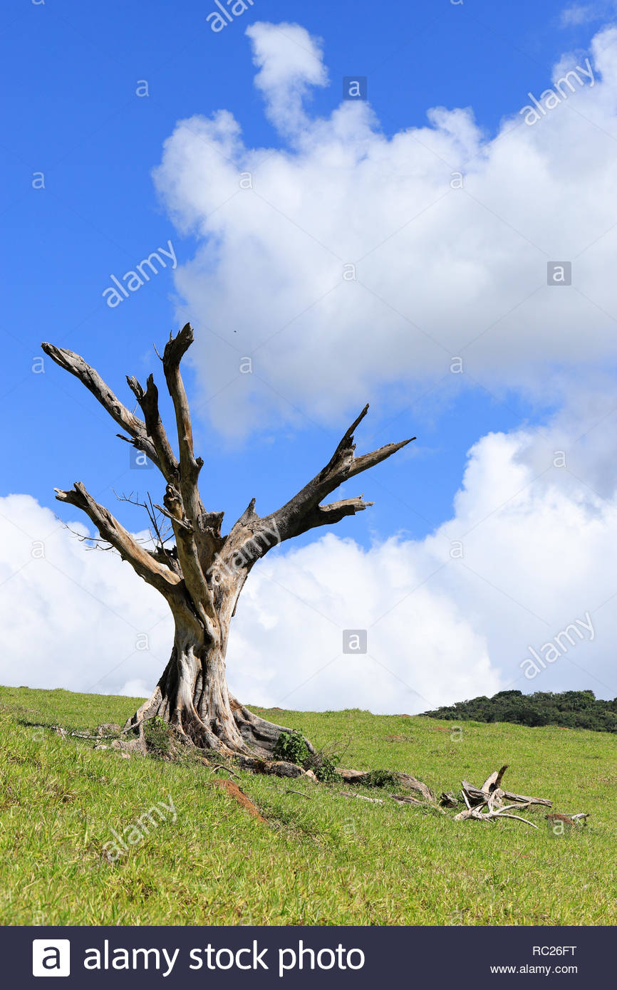 The big dead tree in the pastures of the interior of Minas Gerais, municipality of Carangola (near the Caparaó National Park), Brazil. - Stock Image