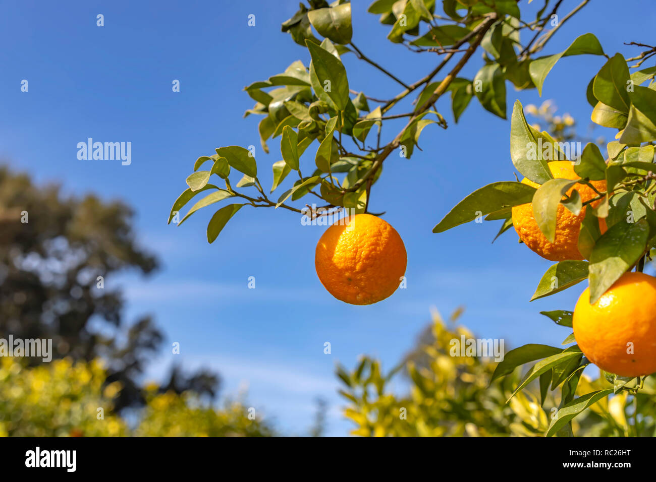 A branch with ripe tangerines close-up on a blurred background - Stock Image