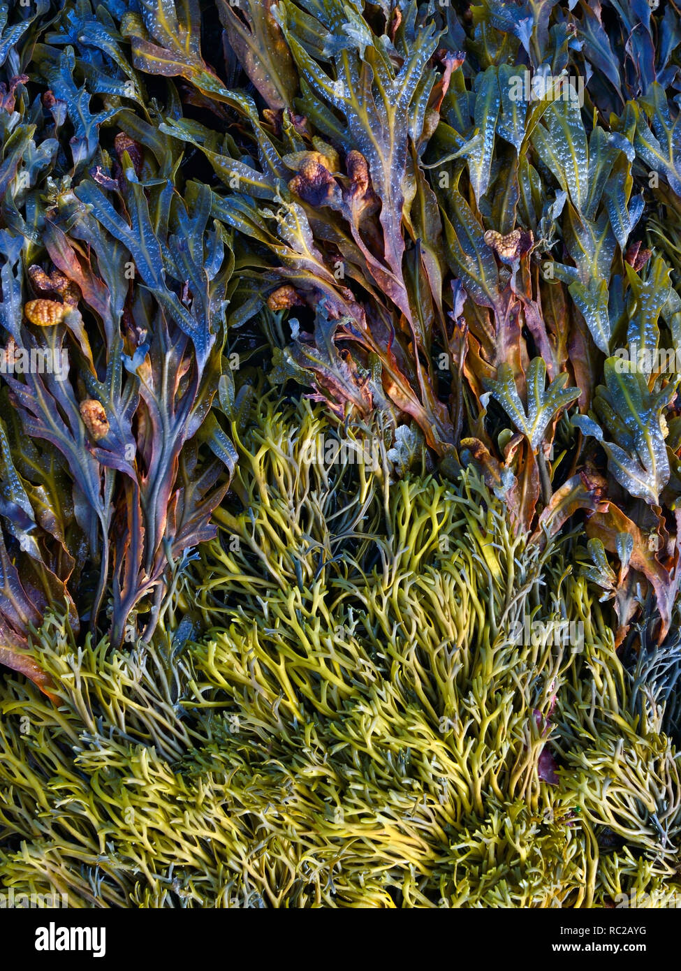 A close up of seaweed on Carraroe Beach, Galway, Ireland - Stock Image
