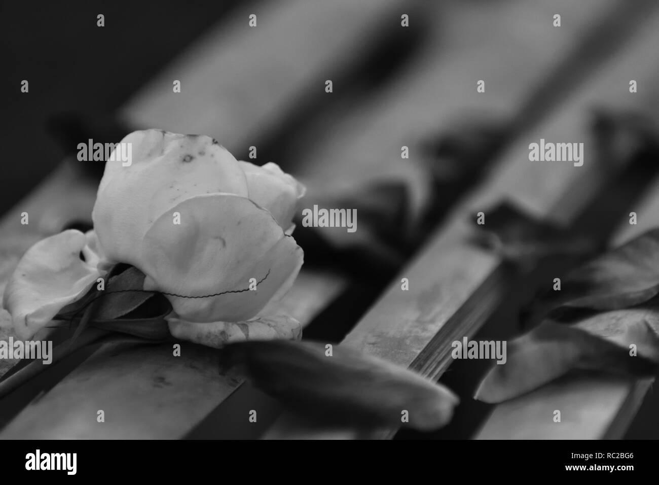 Beautiful white rose lying on bamboo sticks black white photo