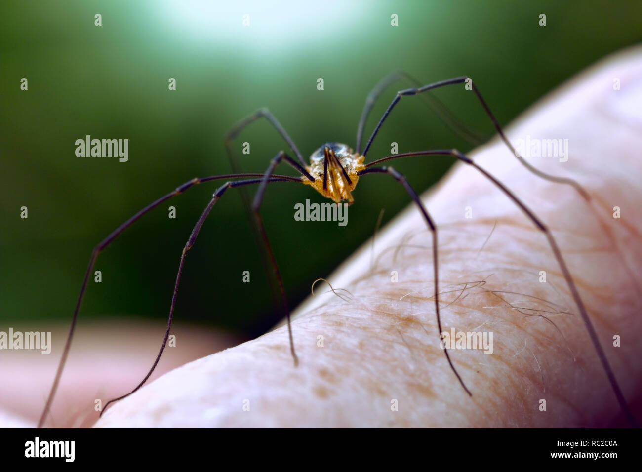 spider with long legs on human finger - Stock Image