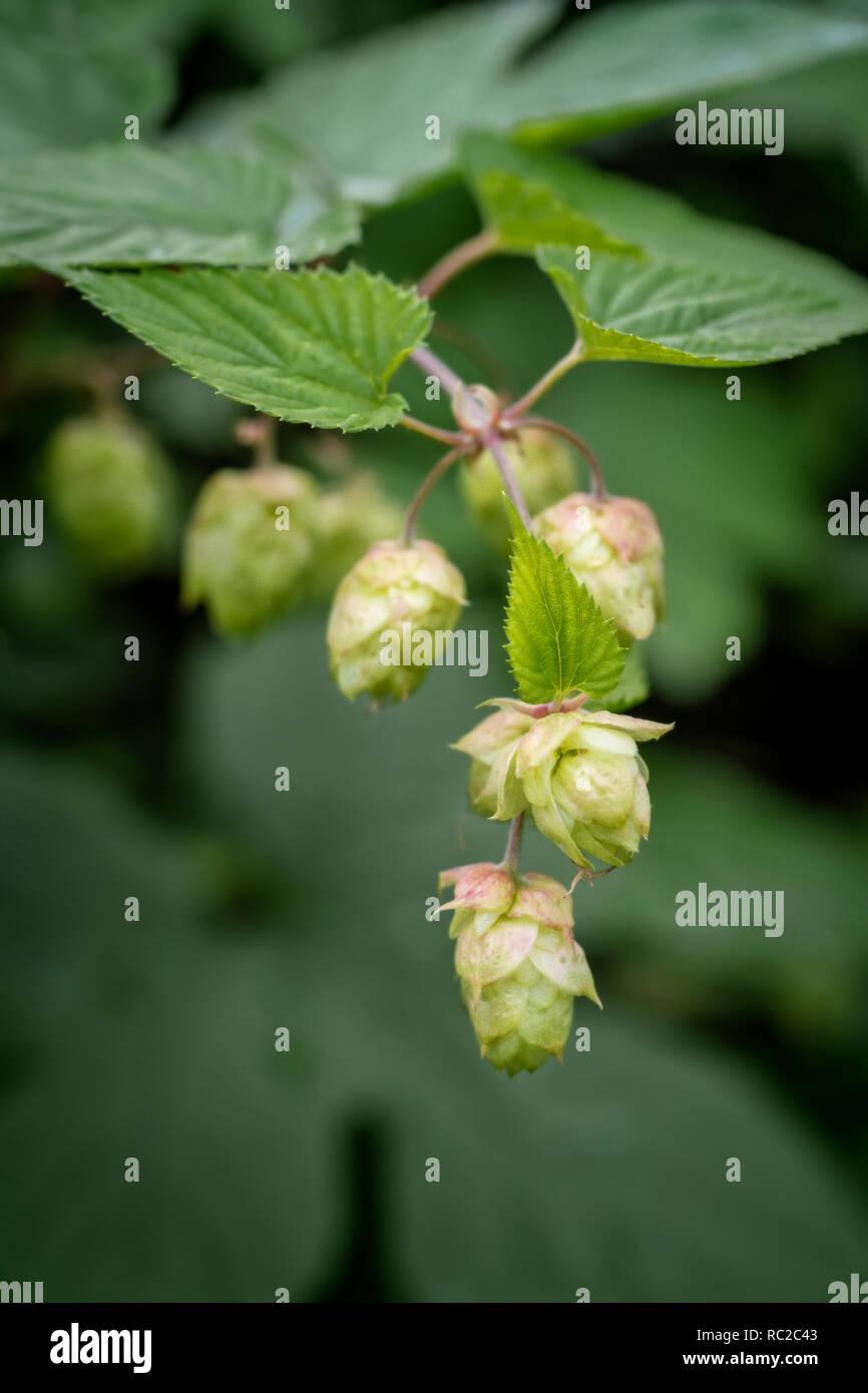 bunch of hop cones - strobili in autumn - Stock Image