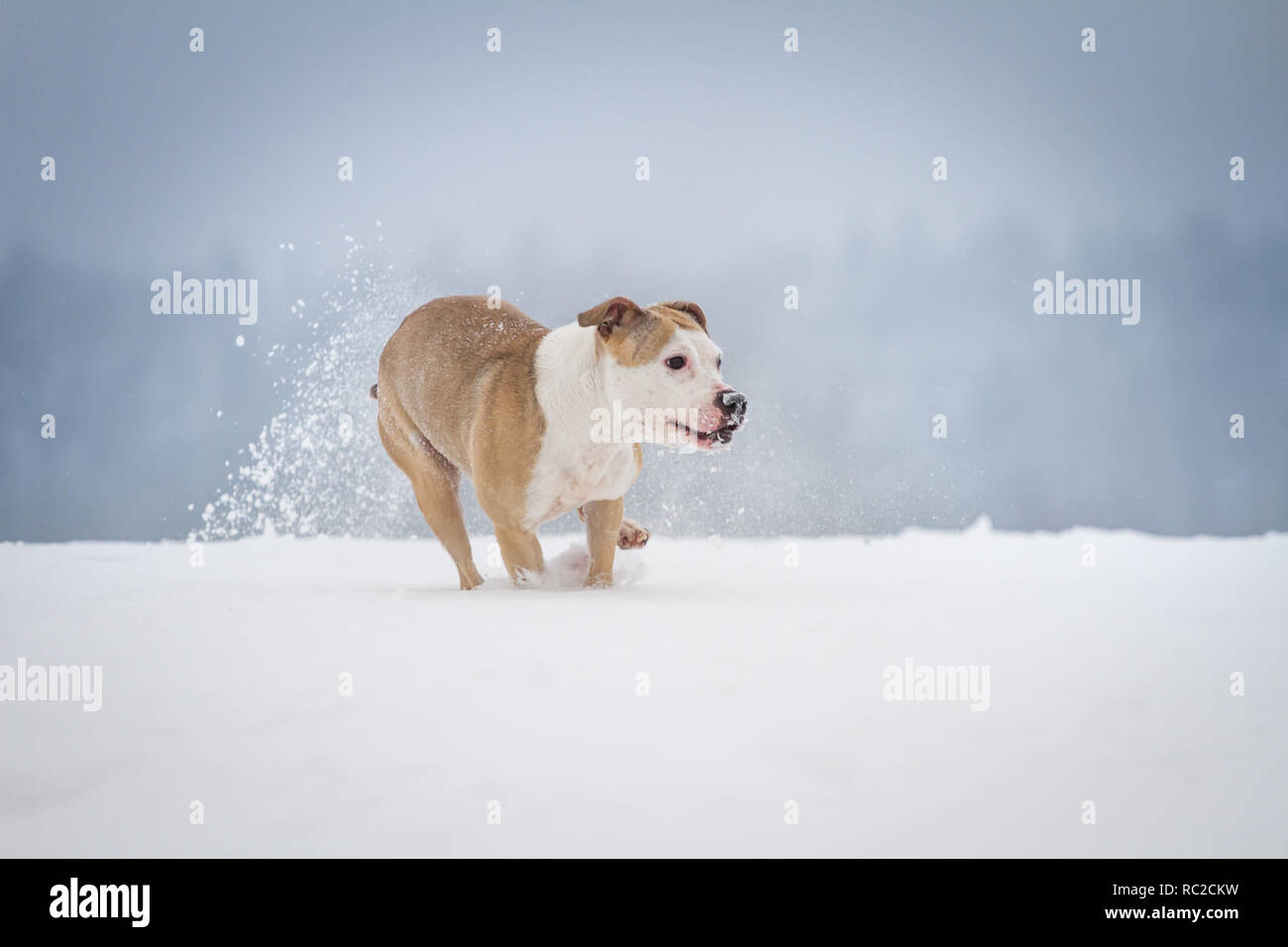 American Pit Bull Terrier running on a winter day with alot of snow - Stock Image