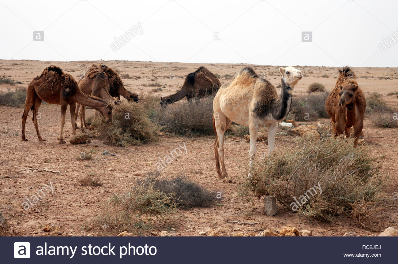 Woundering dromedaries eating in Western Sahara - Stock Image