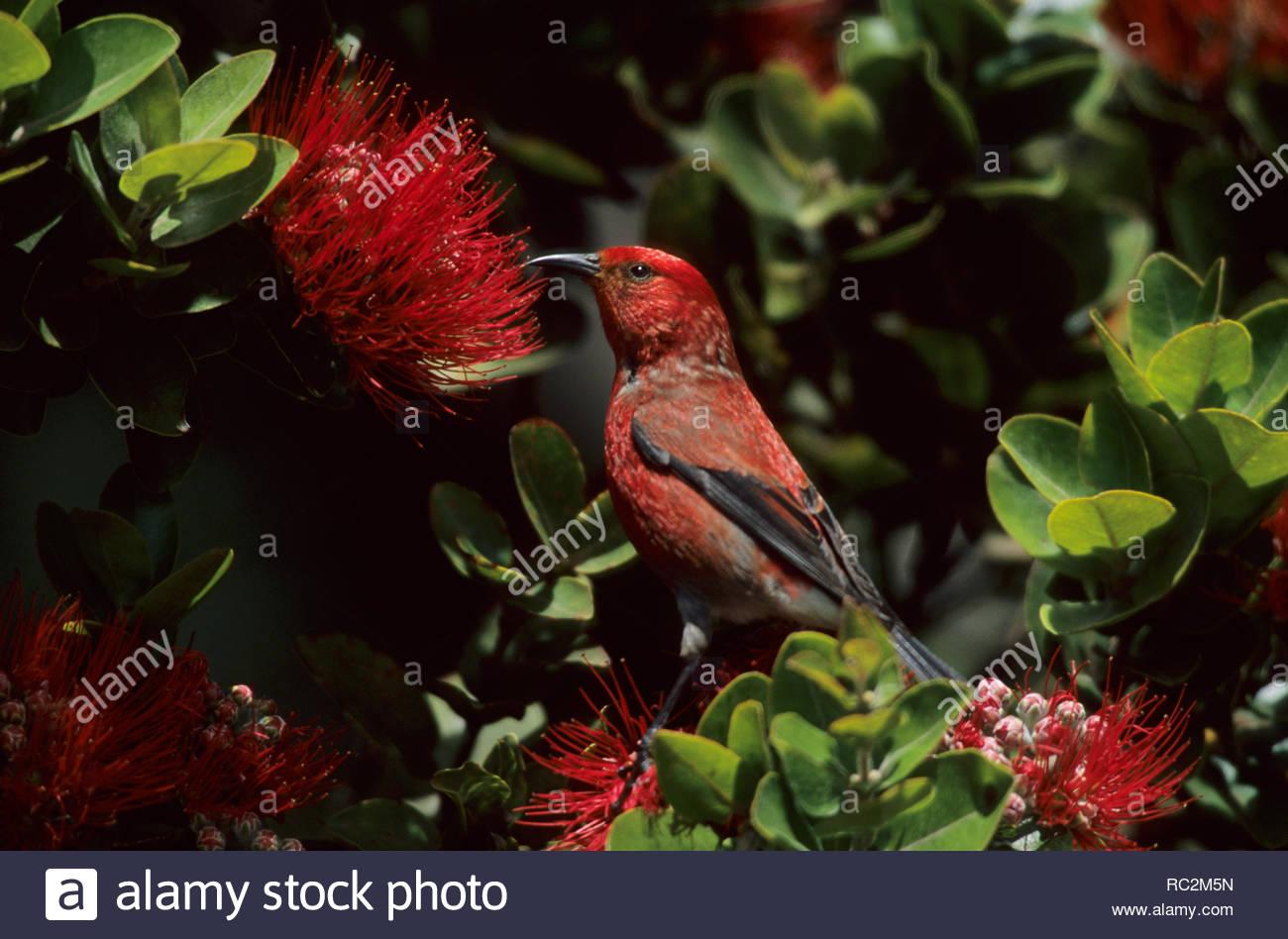 Apapane - on Ohio Flower Himatione sanguinea Big Island, Hawaii BI005647 Stock Photo