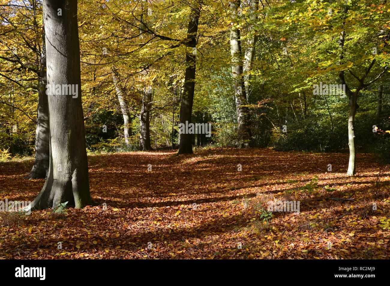 Bradenham Woods, at Bradenham, High Wycombe, Buckinghamshire, UK - Stock Image