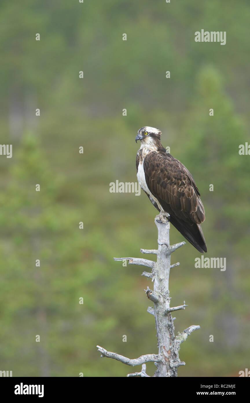 Osprey  Pandion haliaetus Finland BI014876 Stock Photo