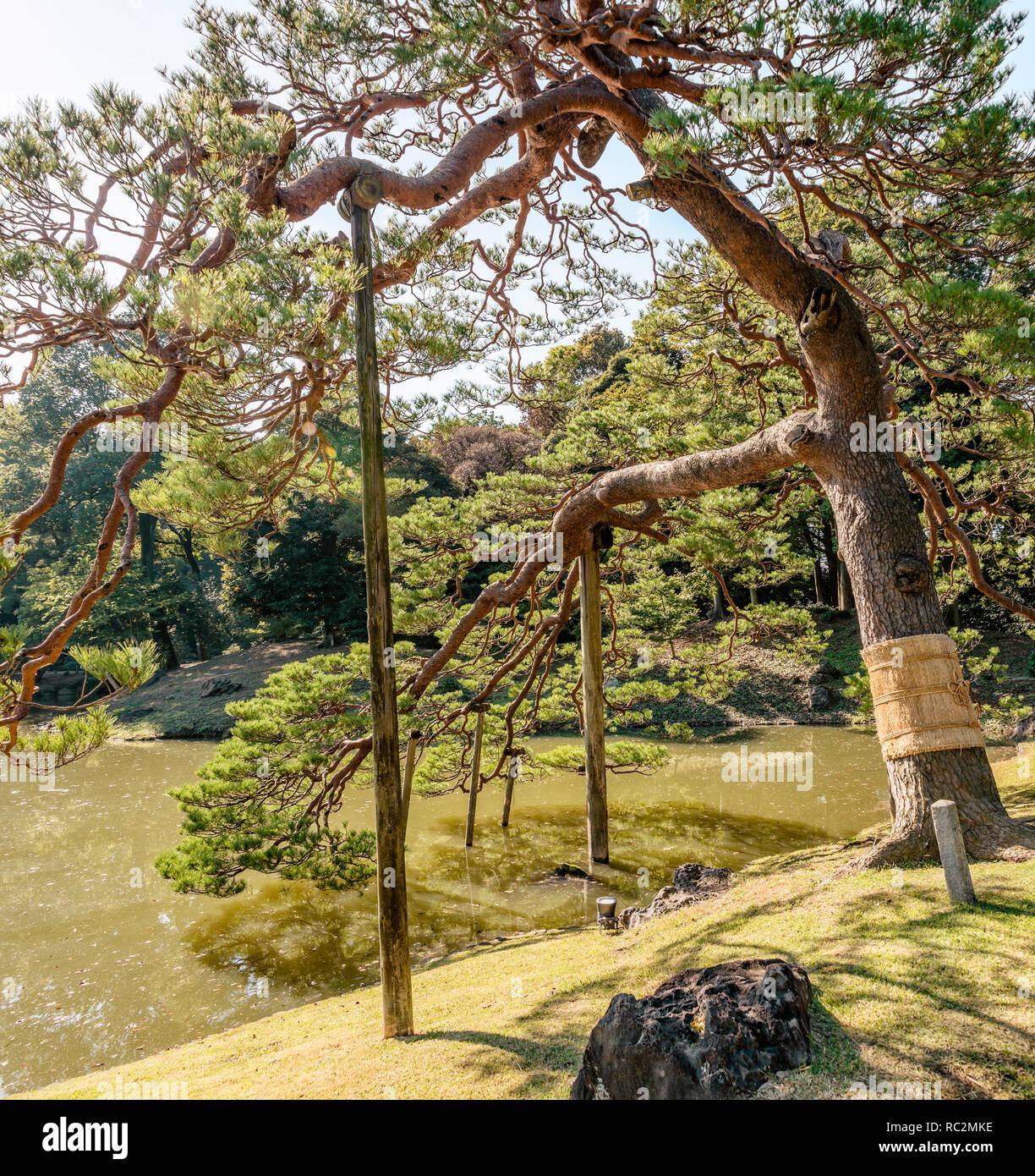 Komo Maki (Straw Belt) Around A Pine Tree At Rikugien ...