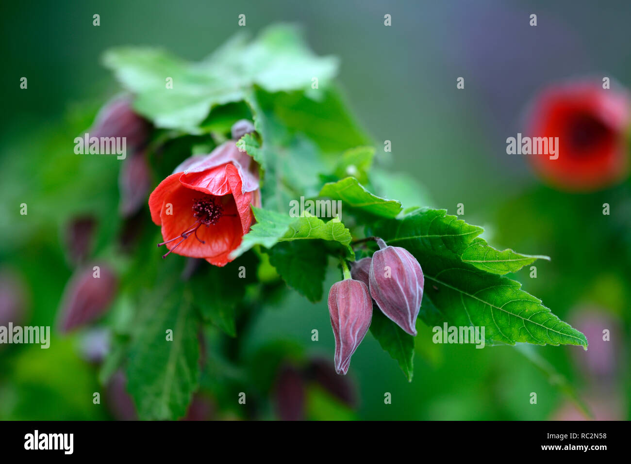 Abutilon x hybridum Red Emperor,abutilons,chinese lantern tree,flowering shrub,shrubs,orange red flowers,RM Floral - Stock Image