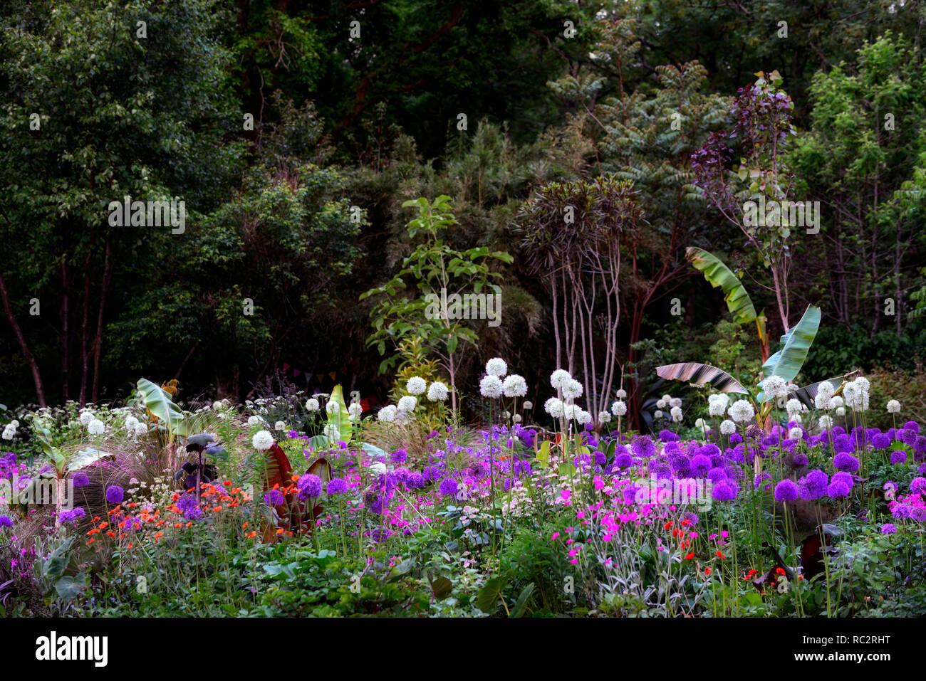 Allium Purple Sensation,Allium Mount Everest,Lychnis coronaria Hills Ground,pink white purple flowers,flowering,mix,mixed,combination,bed,border,plant - Stock Image