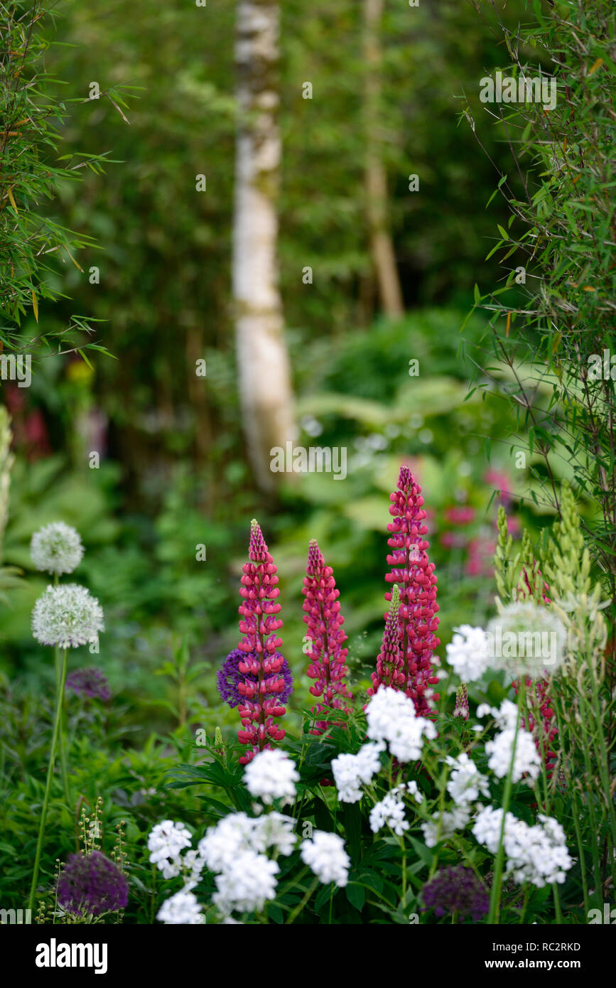 Lupinus Masterpiece, Lupin masterpiece,lupins,flower,flowers,flowering,raceme,racemes,perennial,RM Floral - Stock Image