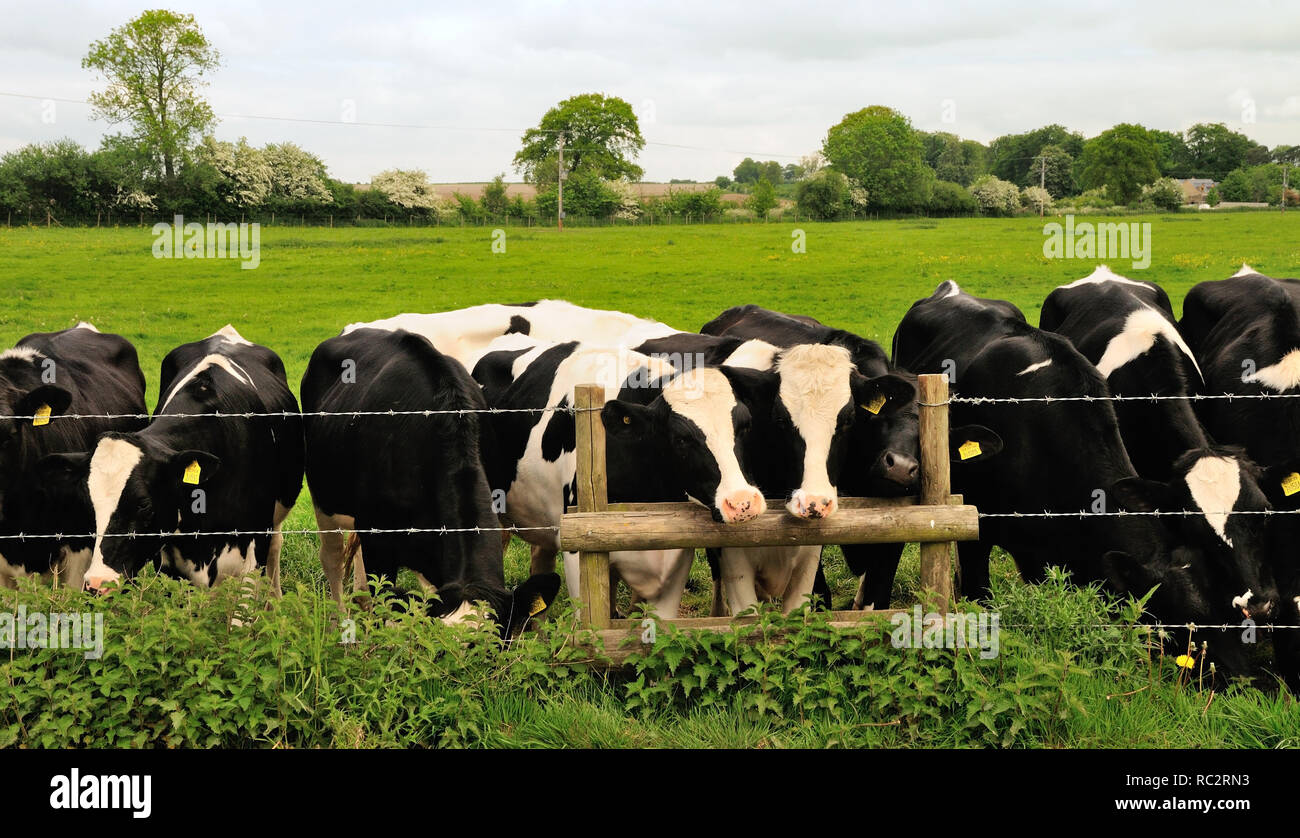 Cattle obstruction on a public footpath where it crosses a farm track. - Stock Image