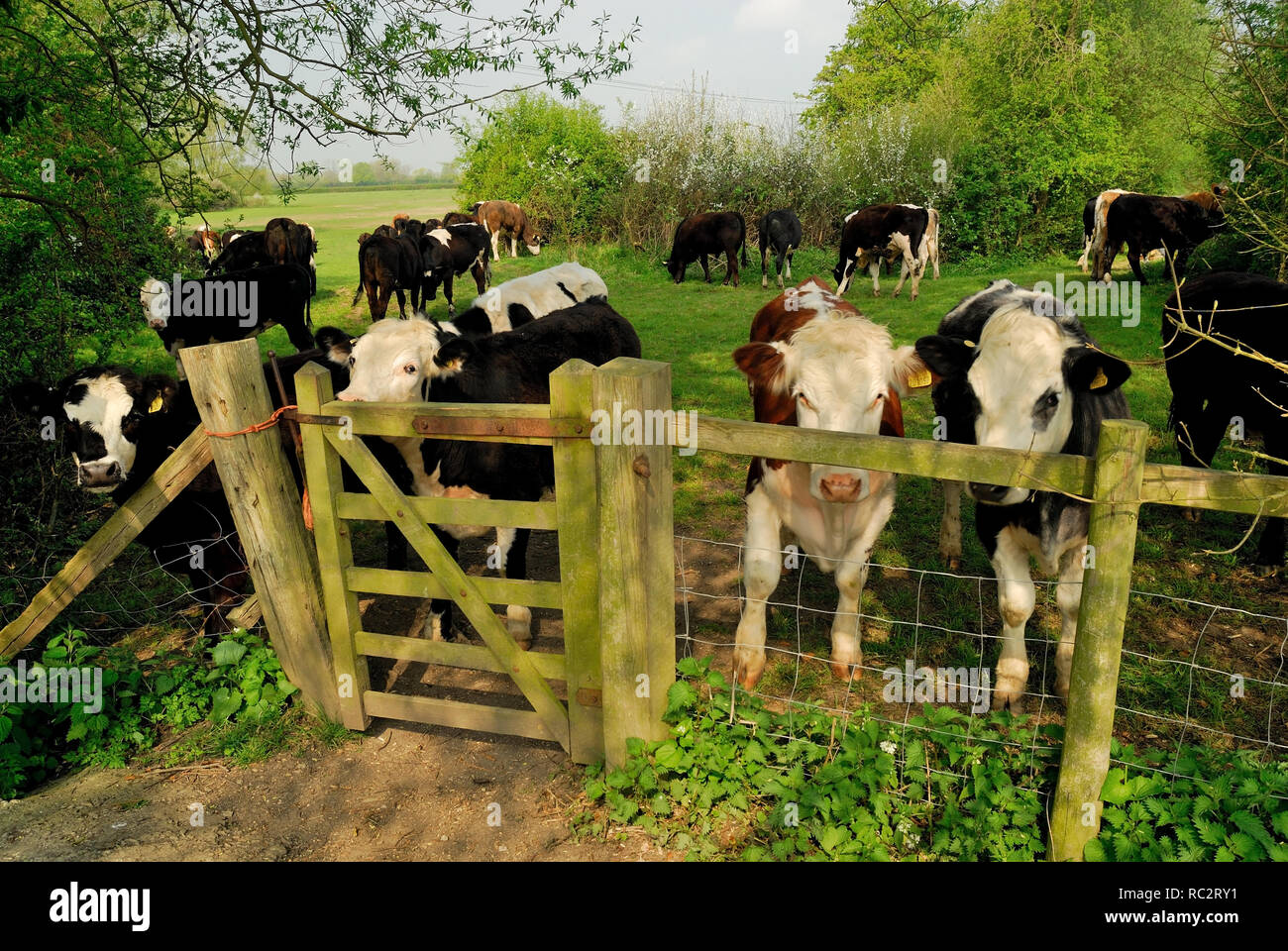 Cattle obstruction on a public footpath. - Stock Image