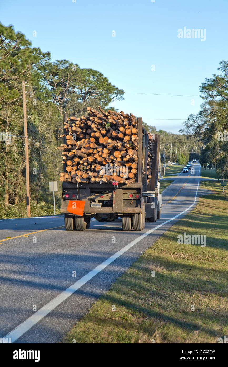Logging truck hauling harvested  Southern 'Long Leaf' pine logs  'Pinus palustris'  to sawmill. - Stock Image