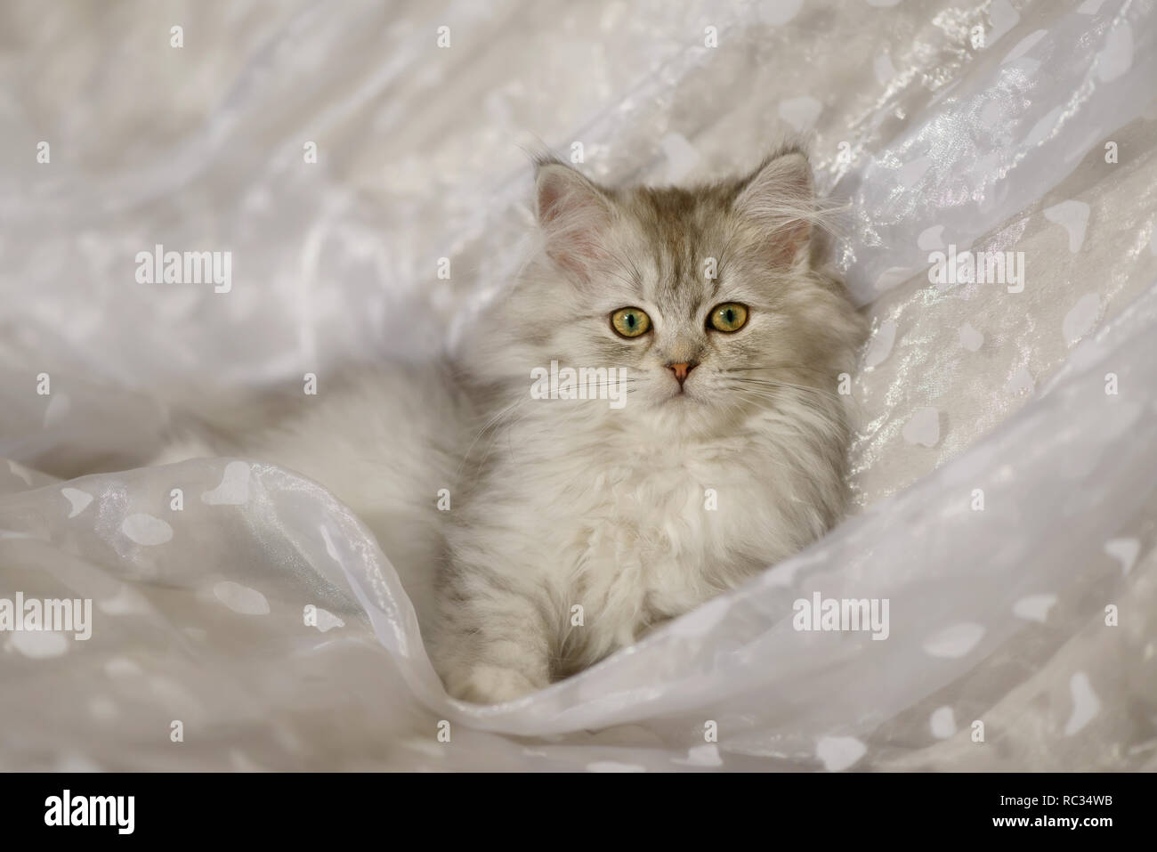 Cute young British Longhair cat kitten, black-silver-spotted-tabby, 15 weeks old, lying on a white blanket and looking curiously Stock Photo