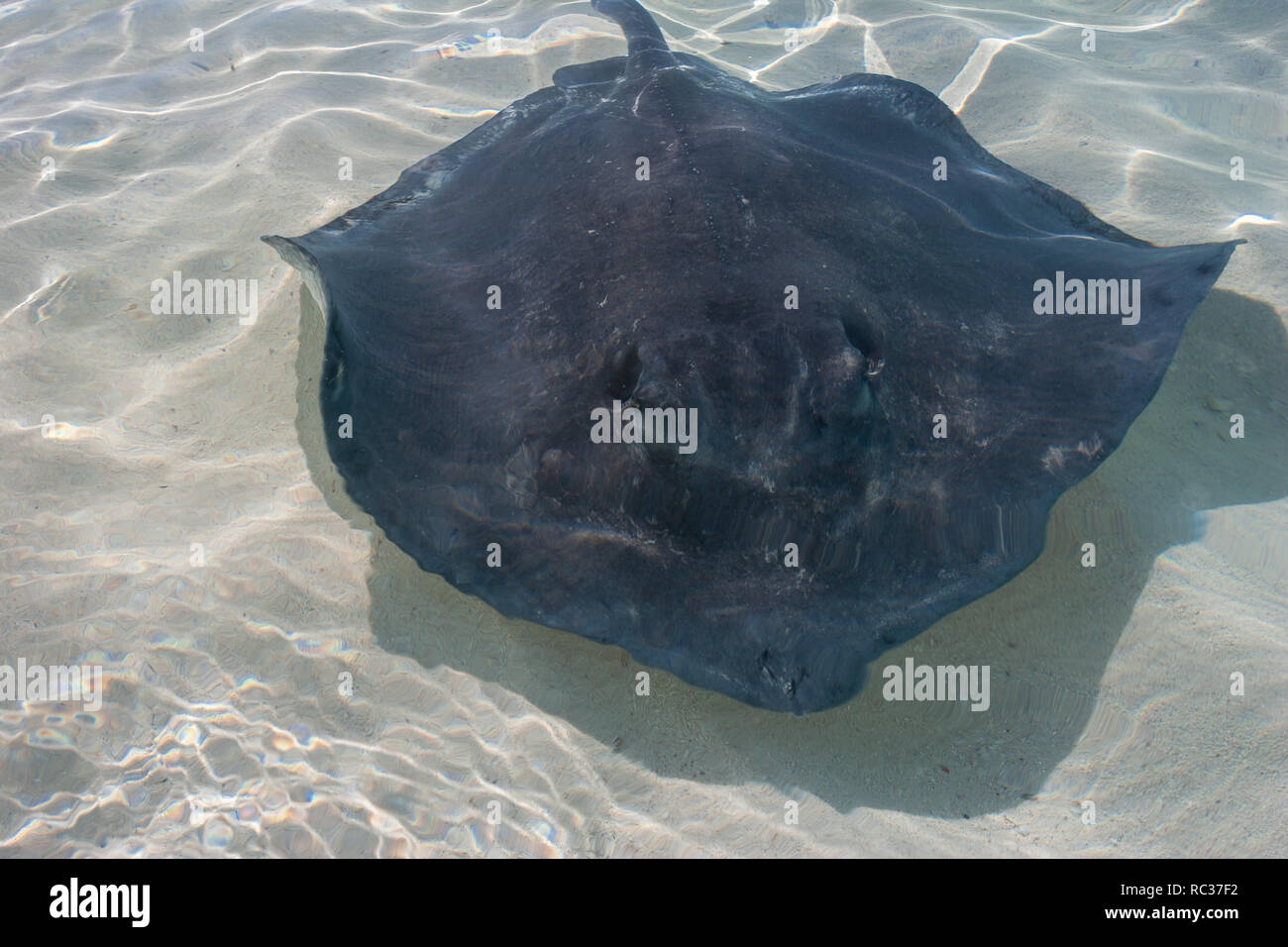 Stingrays fish in the shallow water. - Stock Image