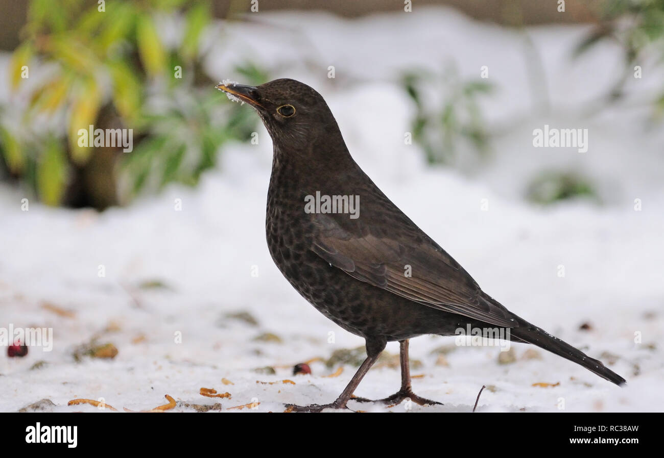 Blackbird in the snow in an English garden. - Stock Image