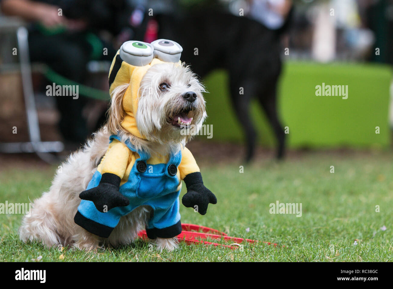 A cute dog wears a minion costume from the movie Despicable Me at Doggy Con, a dog costume contest on August 18, 2018 in Atlanta, GA. - Stock Image
