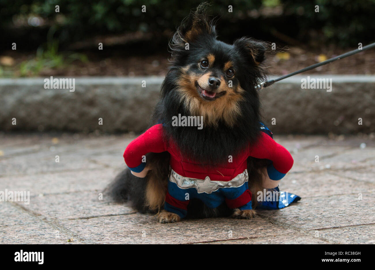 A cute dog wearing a super hero costume has a curious expression at Doggy Con, a dog costume contest on August 18, 2018 in Atlanta, GA. - Stock Image