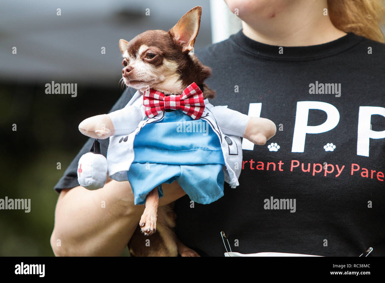 A woman carries a small dog dressed in a doctor costume with a bowtie, as she walks before the judges at Doggy Con, a dog costume contest in Atlanta. - Stock Image