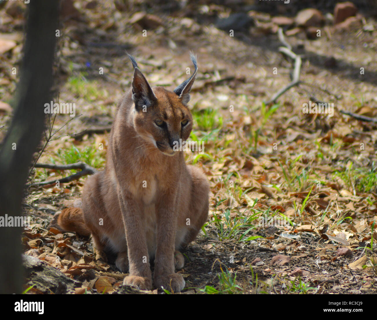 Caracal also know as African golden Cat in a game reserve - Stock Image