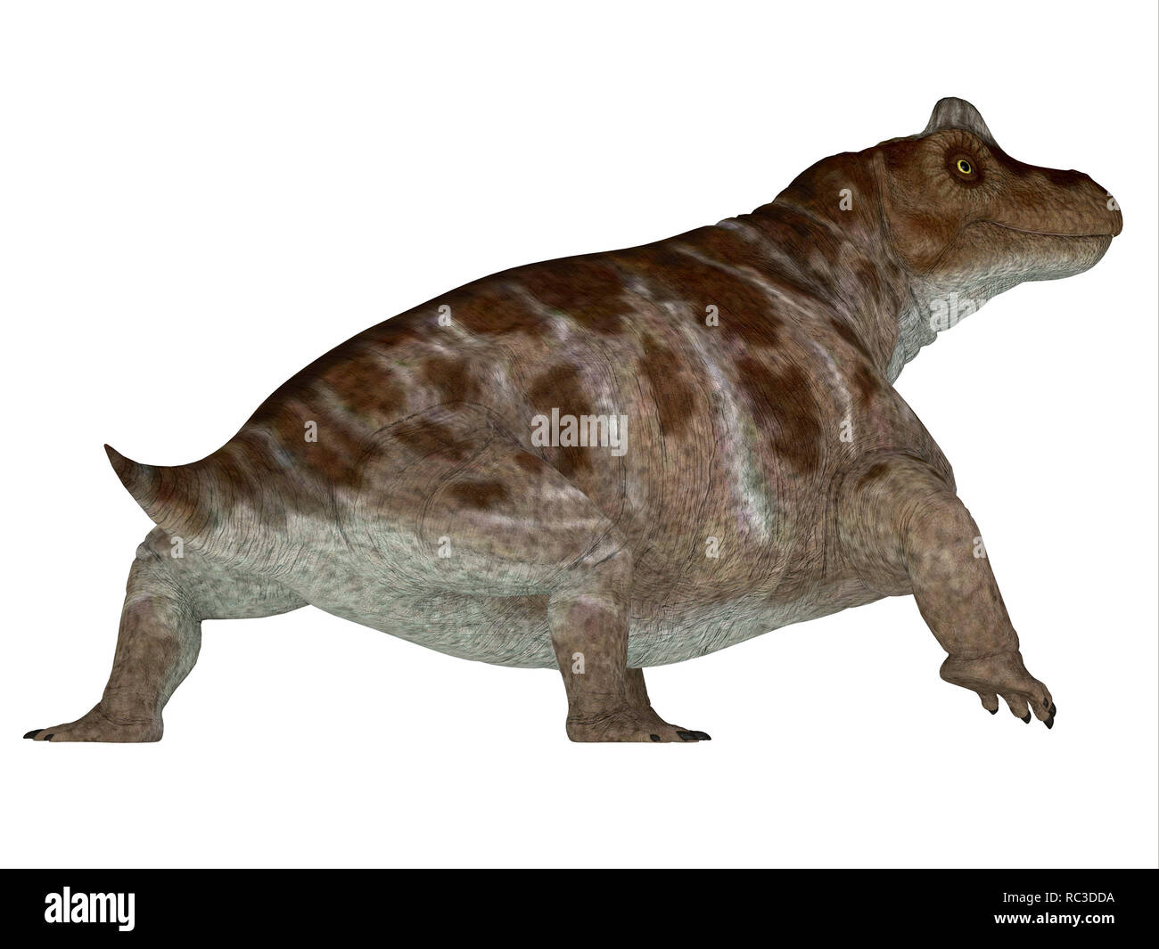 Keratocephalus Dinosaur - Keratocephalus was a primitive herbivore dinosaur that lived in South Africa during the Permian Period. - Stock Image