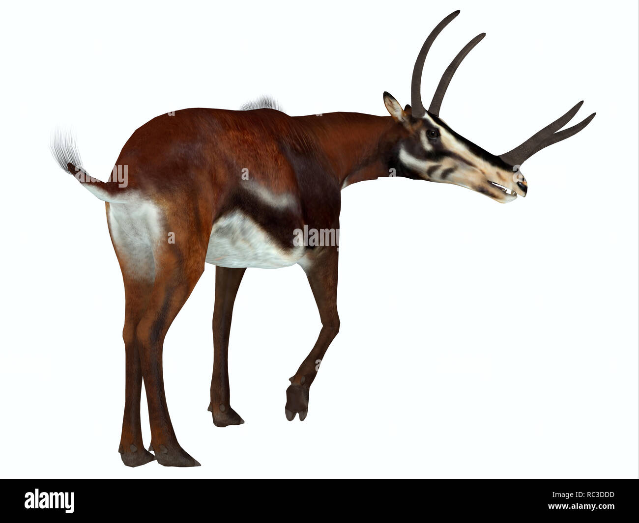 Kyptoceras Mammal - Kyptoceras was an antelope mammal that lived on the plains of North America during the Miocene Period. - Stock Image