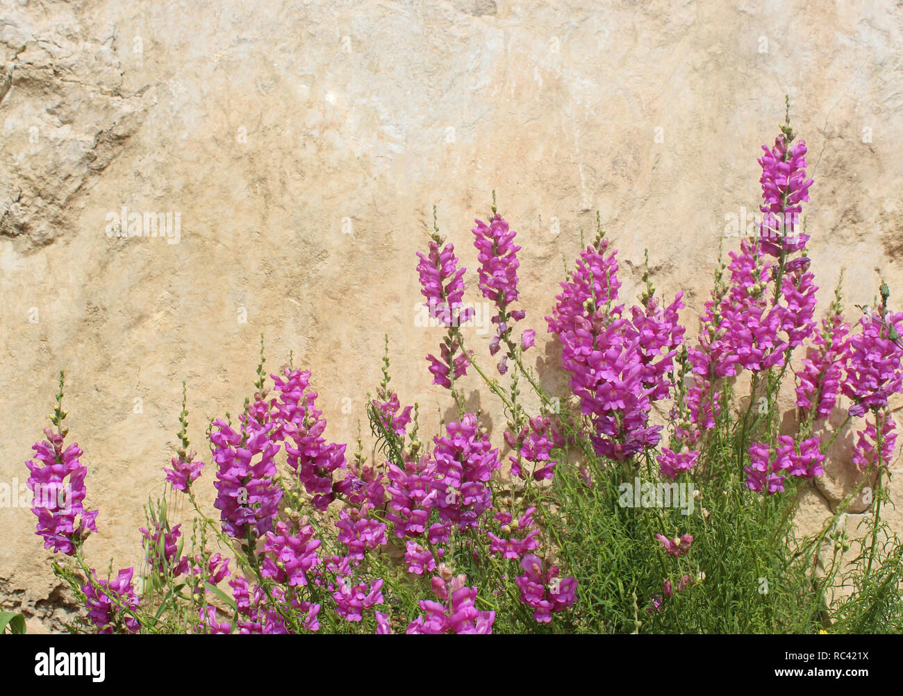 mediterranean scene: pink wild flowers in front of a bright wall - Stock Image
