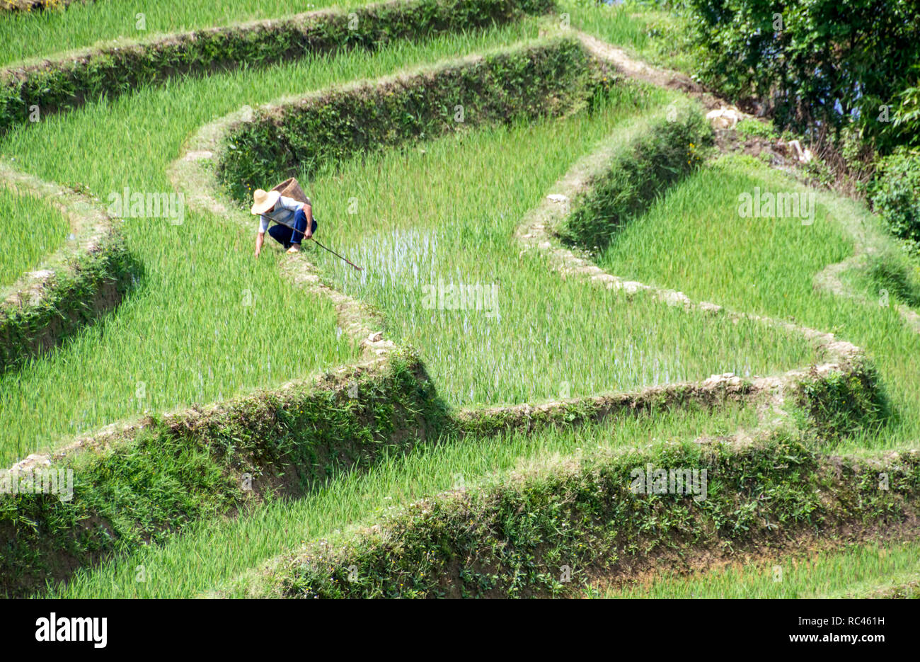 Rice Cultivation in Yuanyang Rice Terraces - Yunnan, China - Stock Image
