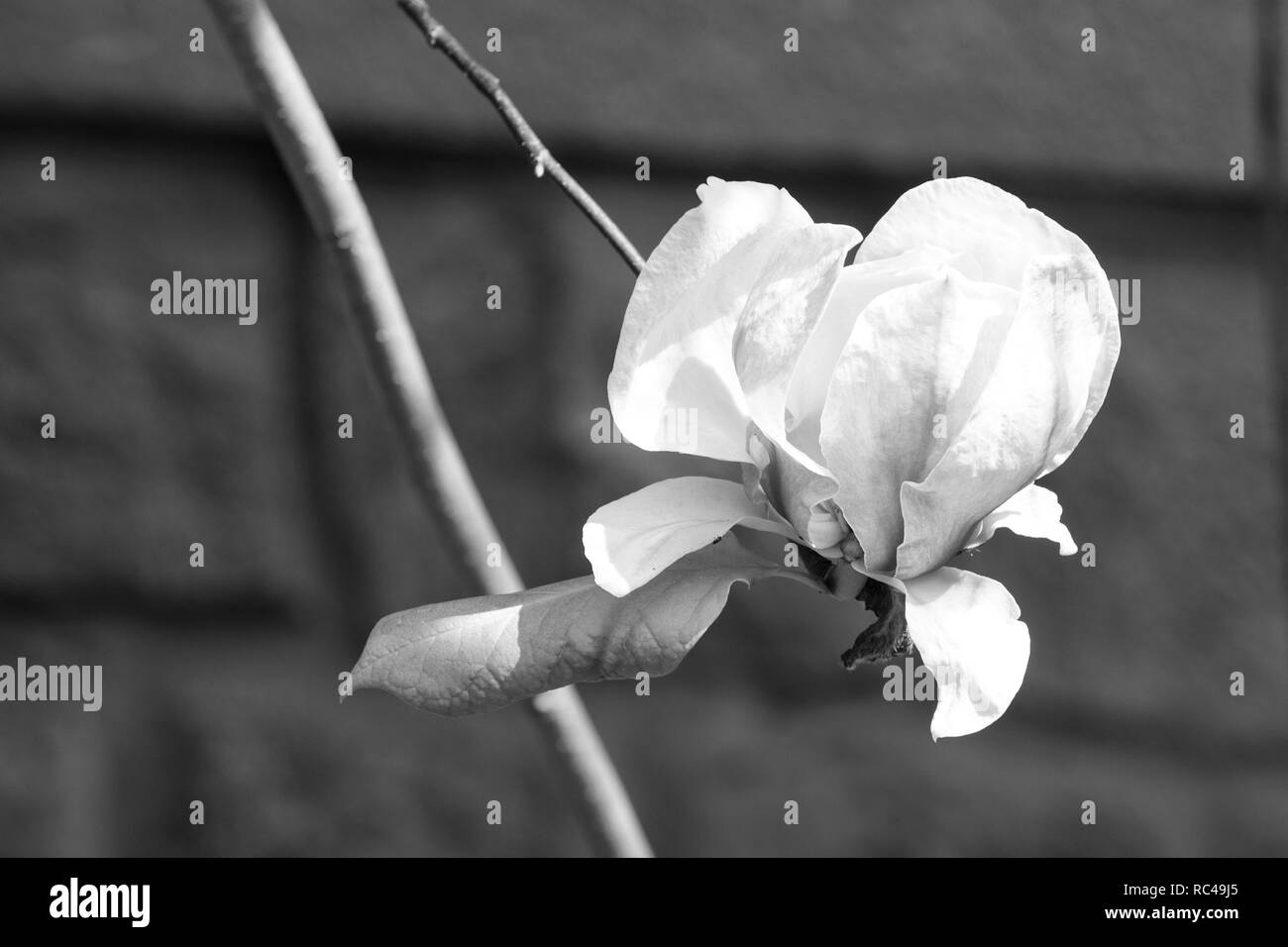 Magnolia flower blossoming on twig on sunny day. Bloom, blossom, flowering. Spring season concept. Tenderness, fragrance, freshness. Nature beauty environment - Stock Image