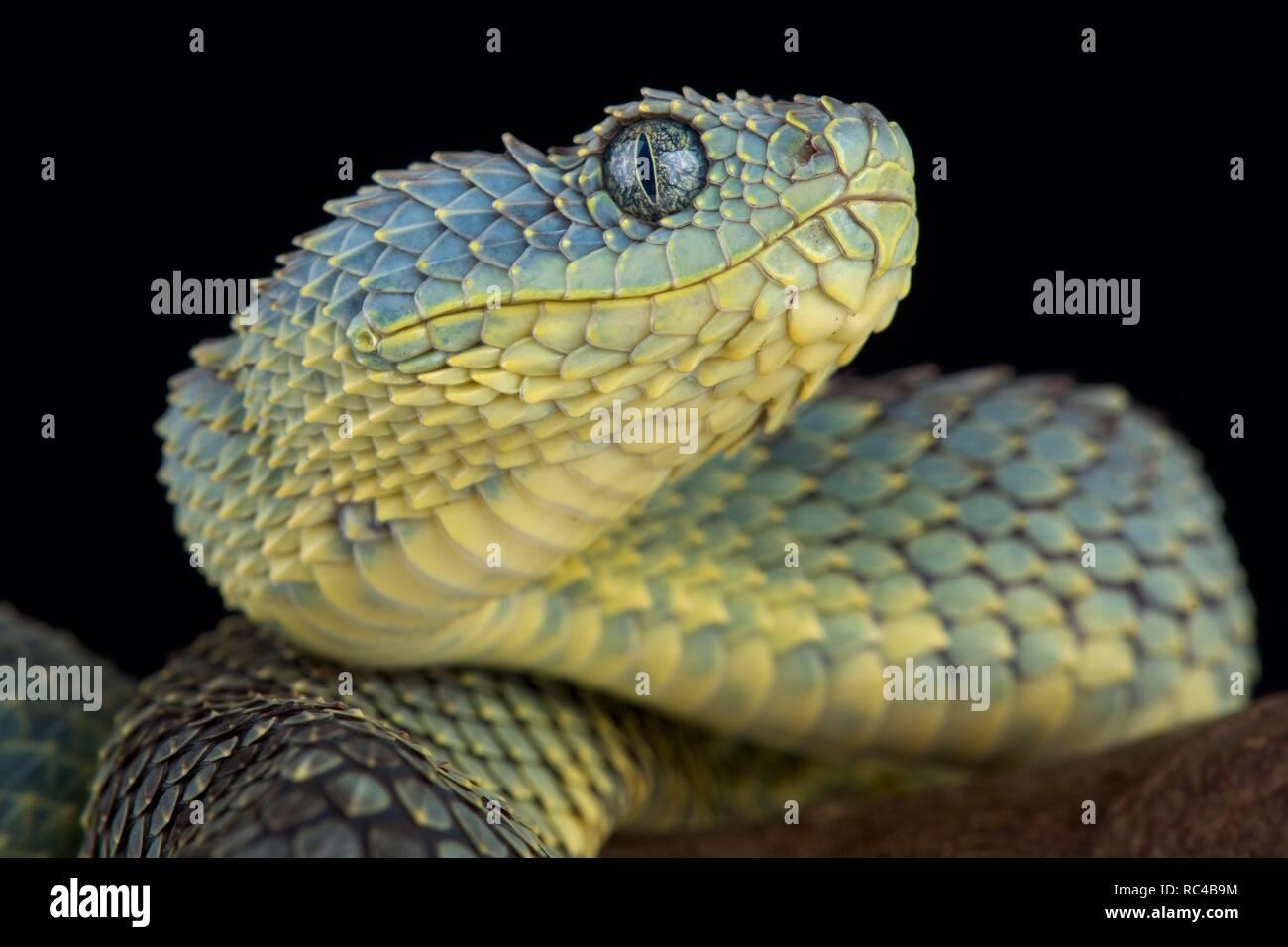 Blue Viper Snake Stock Photos Amp Blue Viper Snake Stock