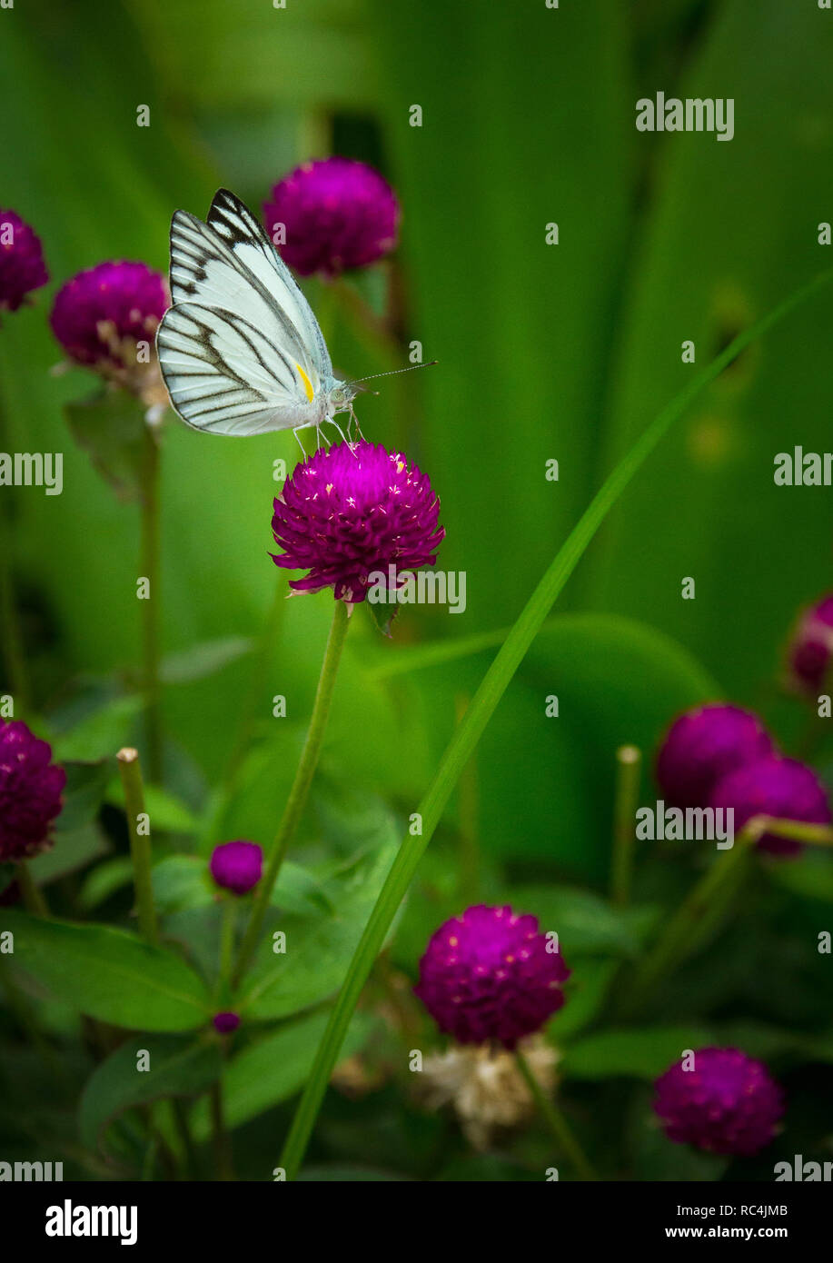 Beautiful butterfly on the Gomphrena flower to help pollinate the plants - Stock Image