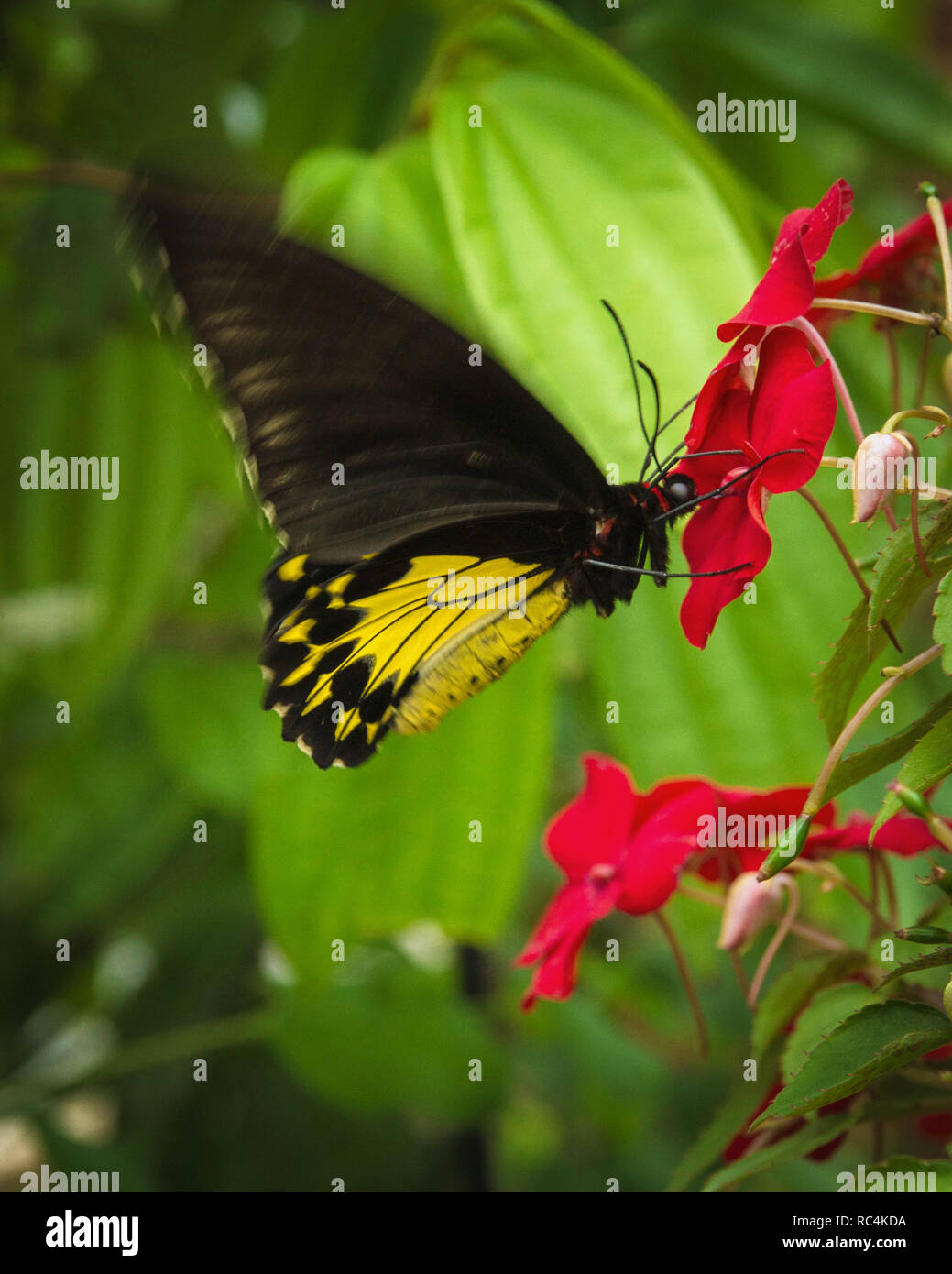 Beautiful butterfly on the flower help pollinate the plants - Stock Image