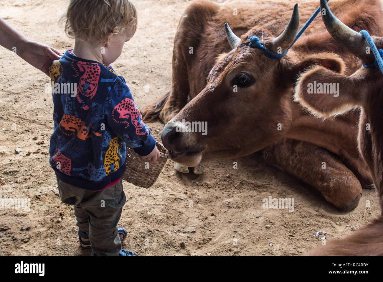 A photo of a baby boy feeding an ox - Stock Image