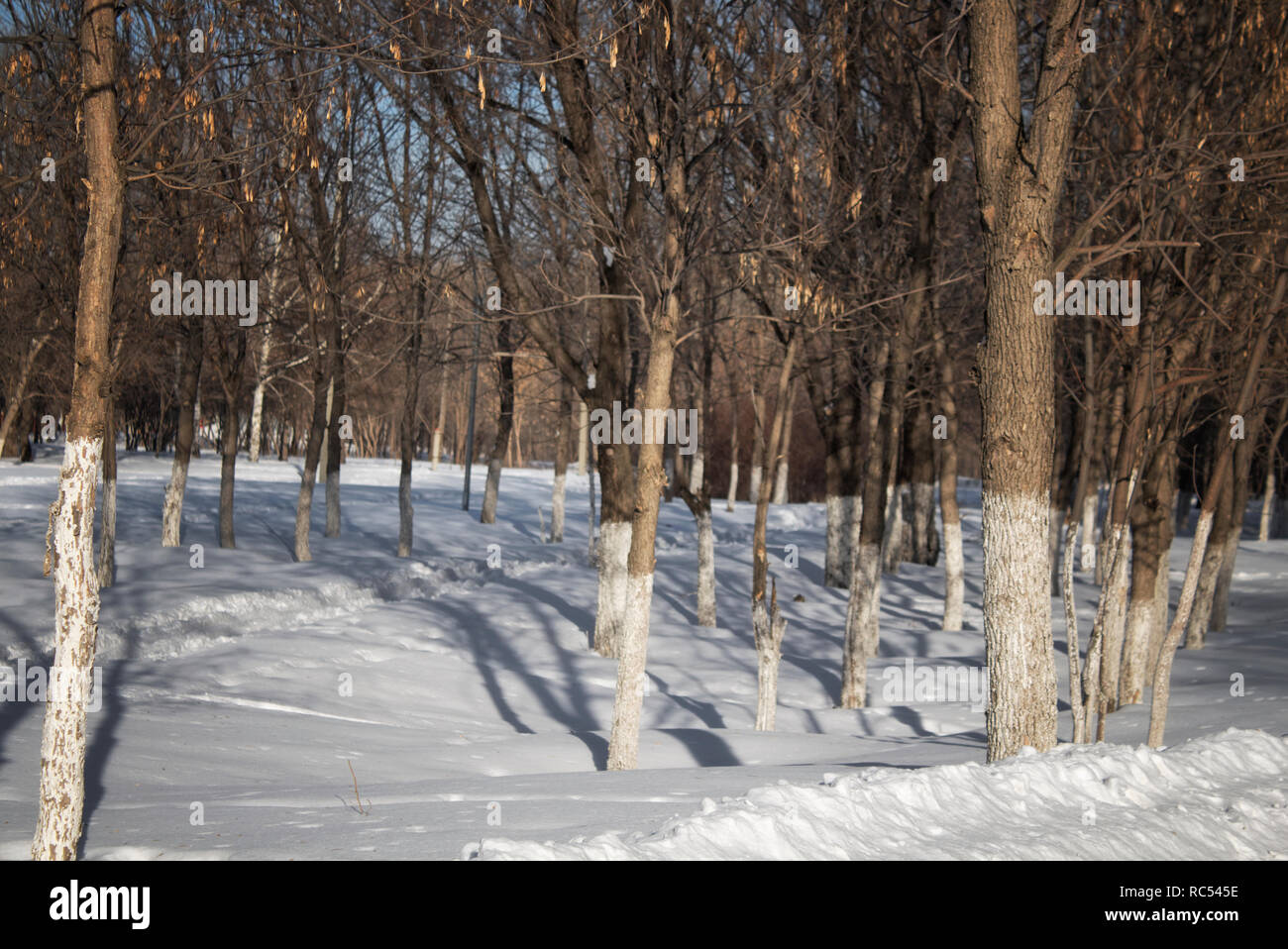 Winter park. Winter background. Snow and trees. Winter landscape. - Stock Image