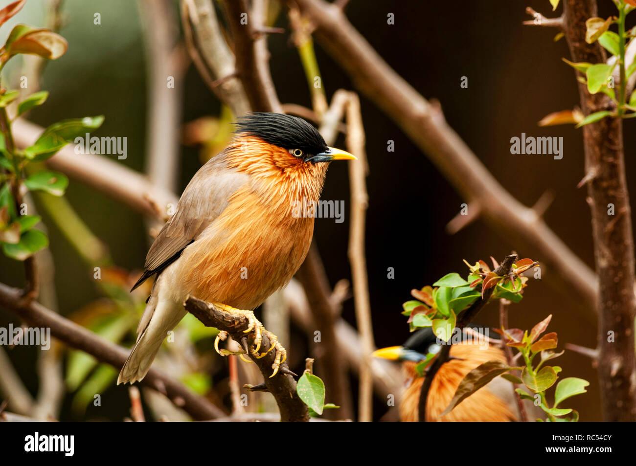Brahminy starling, Sturnia pagodarum, Bharatpur, Rajasthan, India - Stock Image
