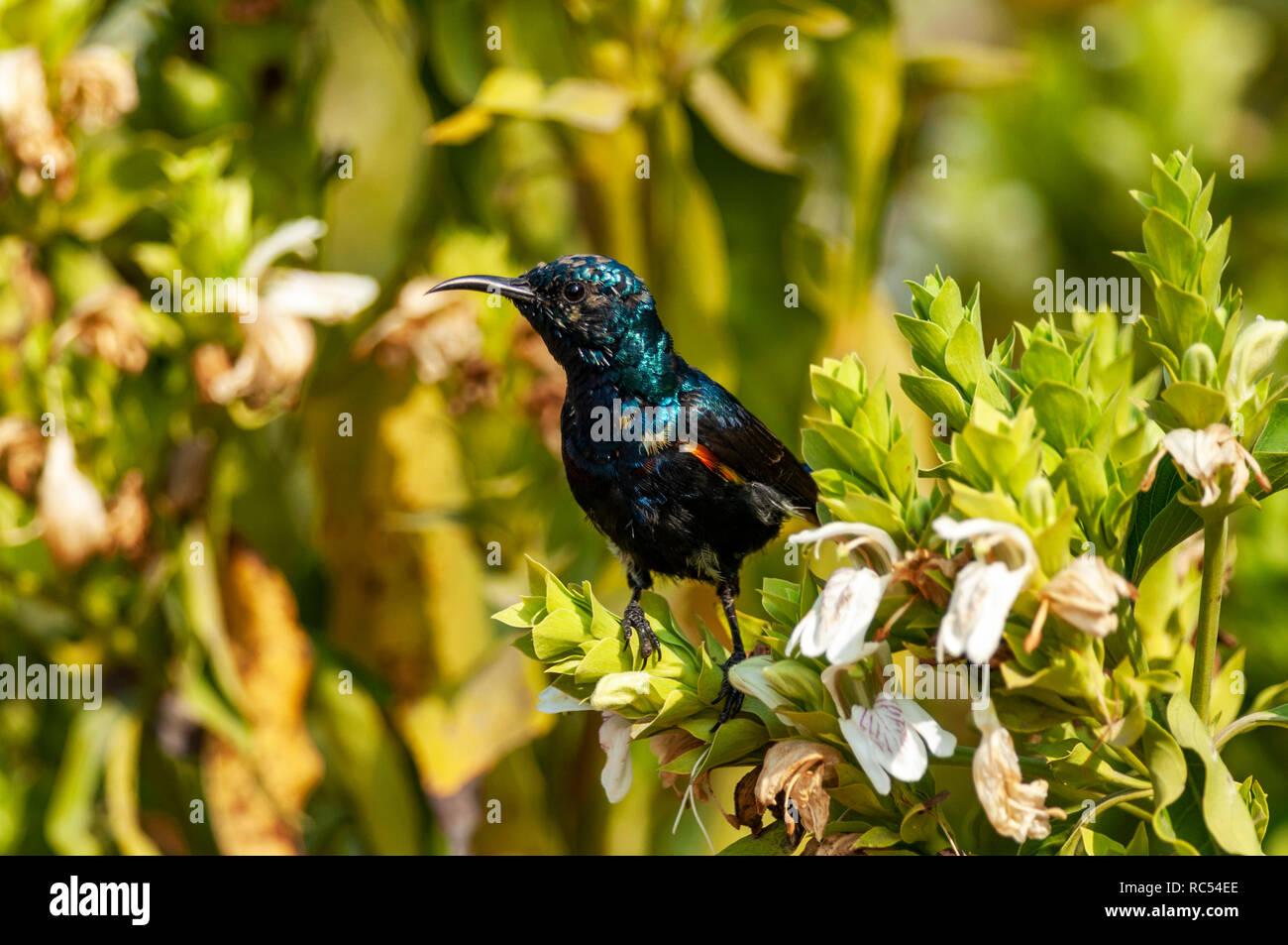 Purple sunbird, male, Cinnyris asiaticus, Bharatpur, Rajasthan, India - Stock Image