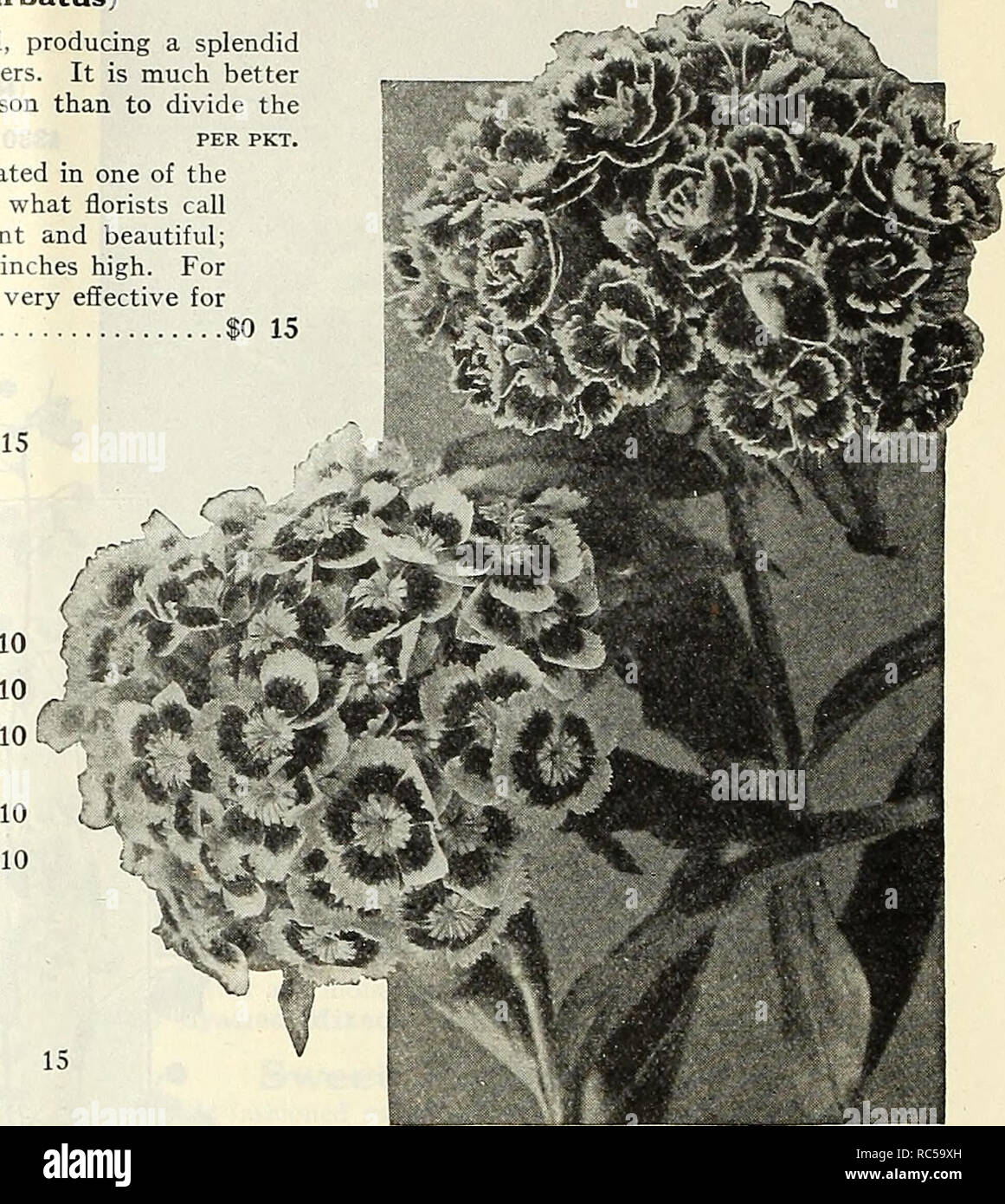 . Dreer's mid-summer catalogue 1930. Flowers Seeds Catalogs; Fruit Seeds Catalogs; Vegetables Seeds Catalogs; Nurseries (Horticulture) Catalogs; Gardening Equipment and supplies Catalogs. 22 DREER'S FLOWER SEEDS FOR SUMMER SOWING Sweet William (Dianthus Barbatus) A well-known, attractive, free-flowering hardy perennial, producing a splendid effect in beds and borders with their rich and varied flowers. It is much better to raise new, vigorous, young plants from seed every season than to divide the old plants. per pkt. 4282 Newport Pink. A distinct new color which originated in one of the far-f - Stock Image