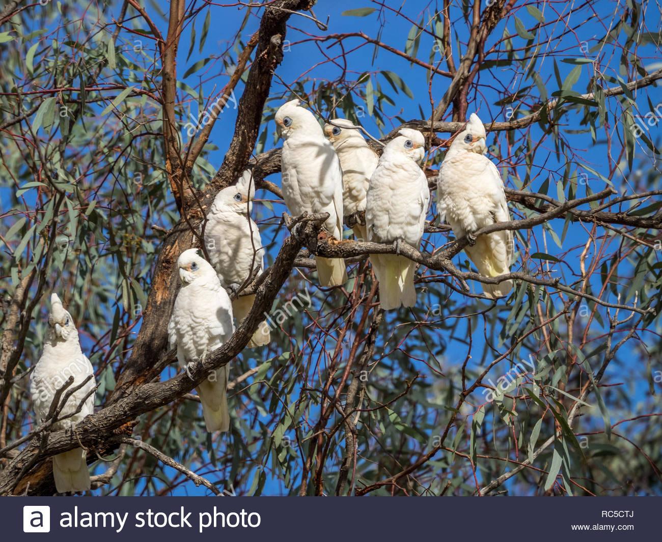 Corellas in trees at Loxton, SA - Stock Image