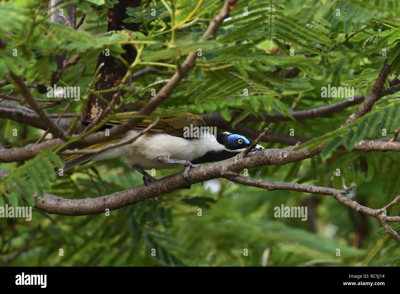 An Australian, Queensland Blue-faced Honeyeater ( Entomyzon cyanosis ) peering through branches and leaves looking for food Stock Photo