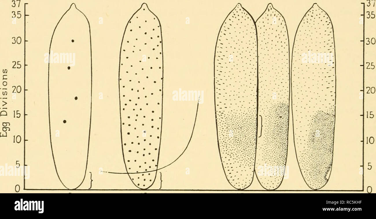 """. Embryology of insects and myriapods; the developmental history of insects, centipedes, and millepedes from egg desposition [!] to hatching. Embryology -- Insects; Embryology -- Myriapoda. 152 EMBRYOLOGY OF INSECTS AND MYRIAPODS the activation of the egg system, and so it is here designed """"the activa- tion center,"""" following Huxley and 4eBeer (1934). The Uteral translation """"formative center"""" is ambiguous and may carry unwarranted implica- tions. It is not a visibly distinct part of the egg but can be more or less closely delimited by experiments. It functions by the produc - Stock Image"""