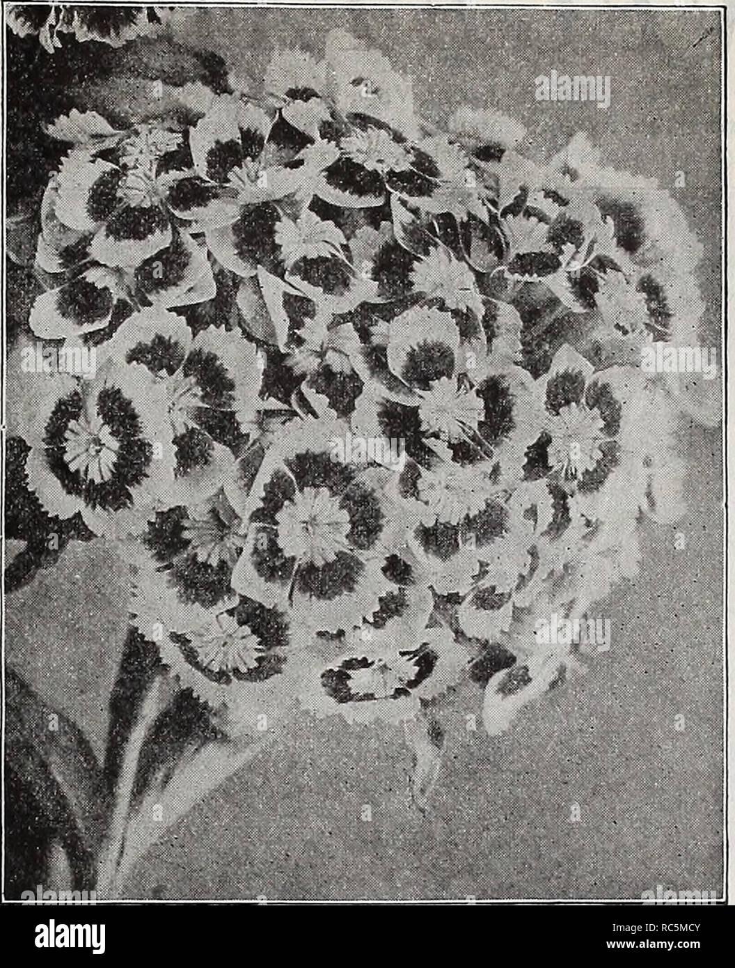 Hesperis Violet /& Blanc Mix//Sweet Rocket//500 graines