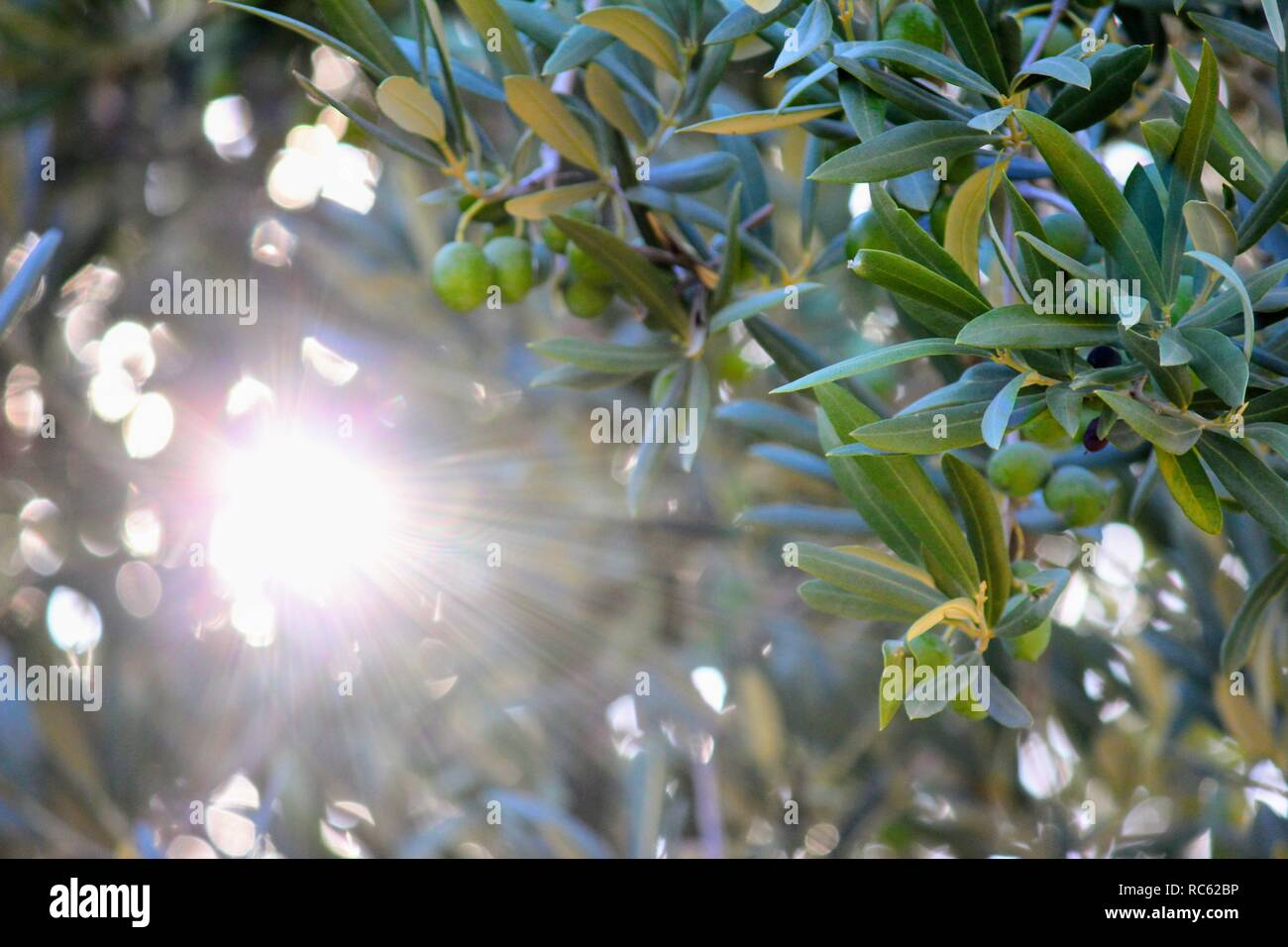 Olive tree with olives, with a ray of sunshine - Stock Image
