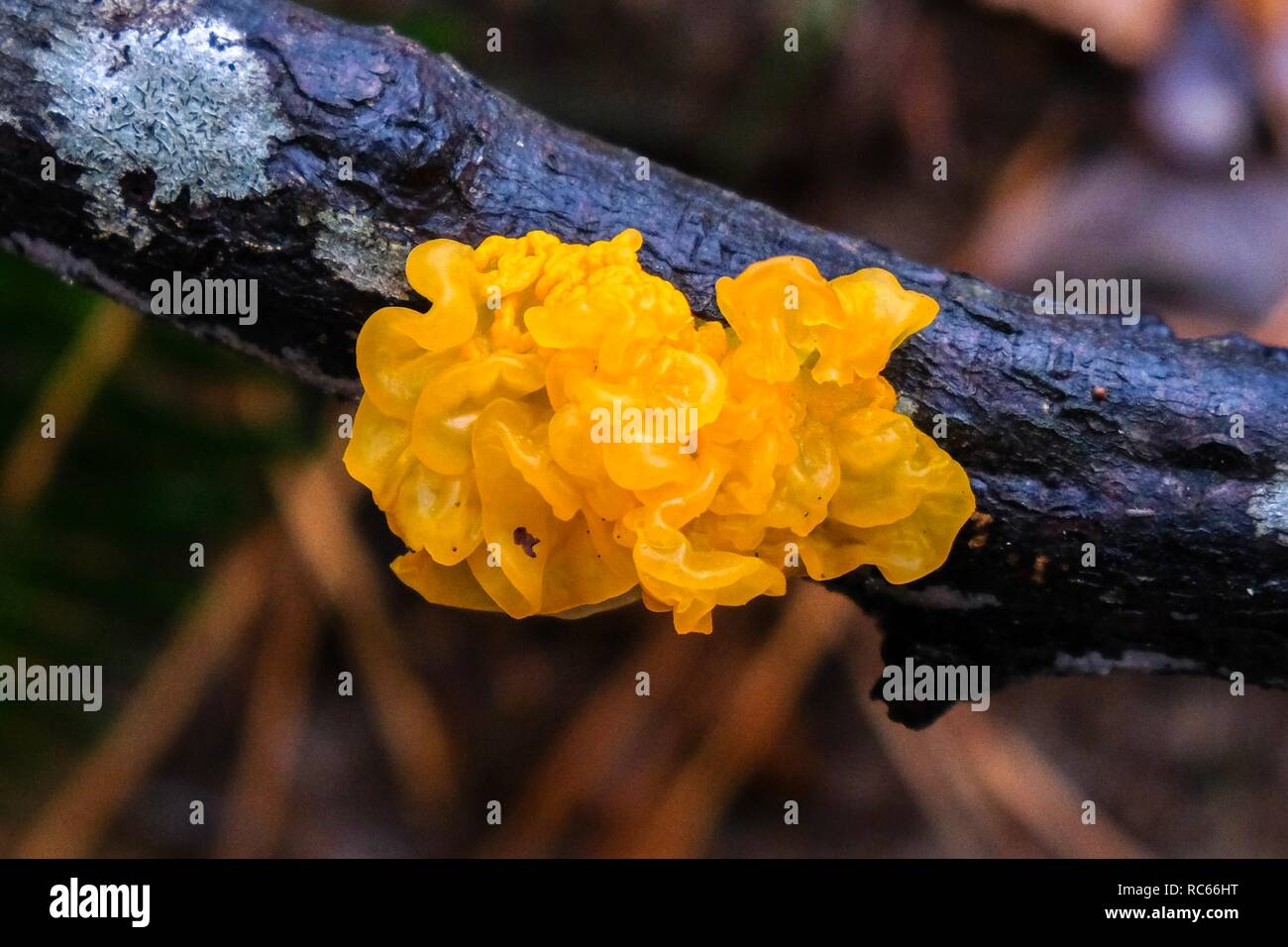 Witches' butter, also known as yellow brain, golden jelly fungus, yellow trembler, growing on a deciduous stick in the forest at Crowder County Park - Stock Image