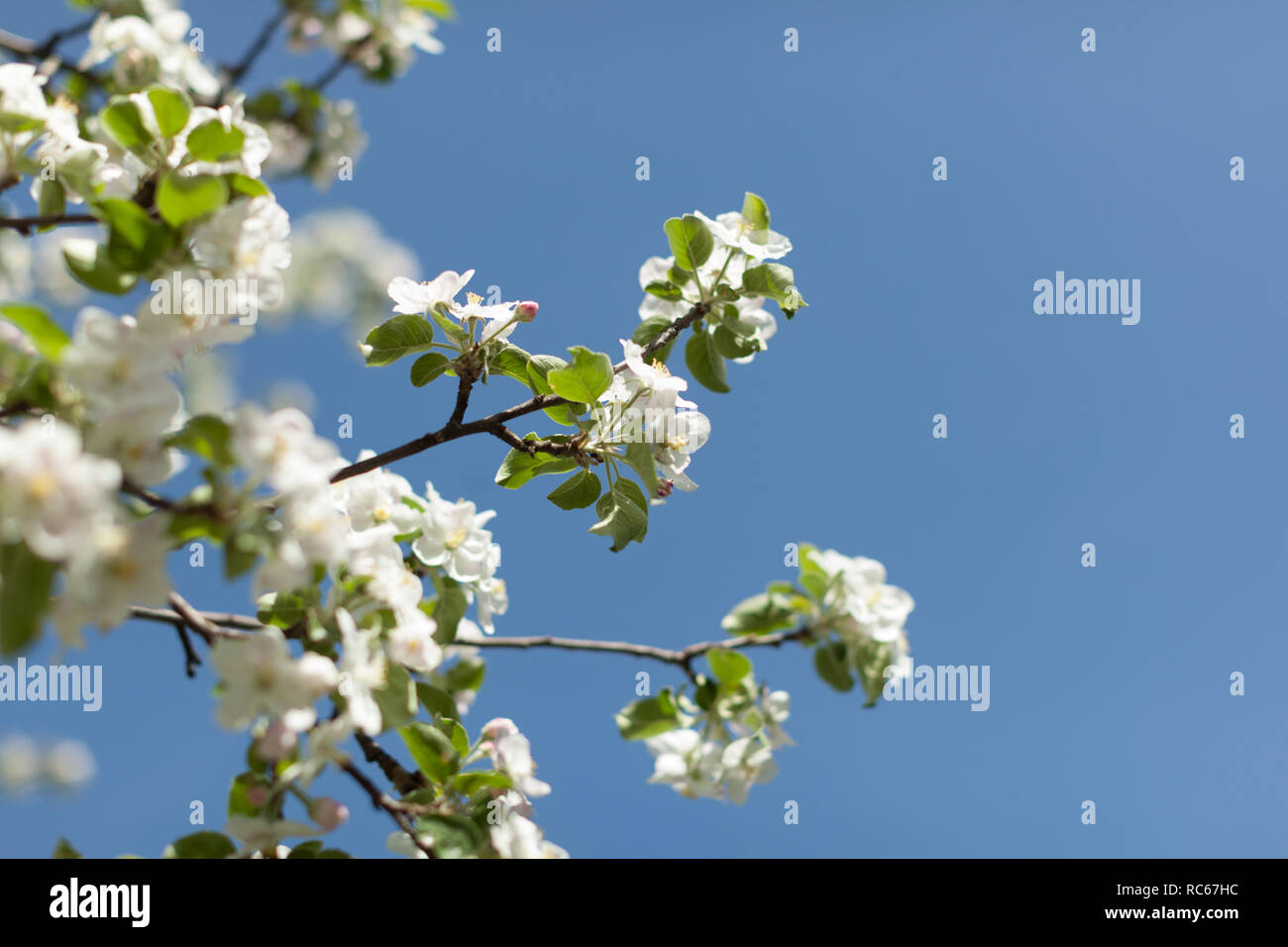 Apple Blossom Over Nature Background Beautiful Spring Flowers