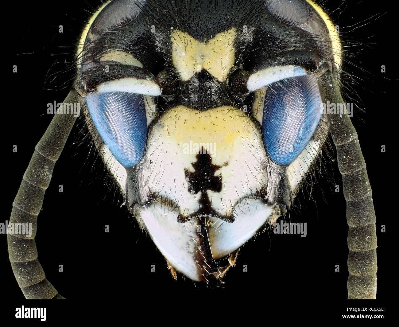 Extreme macro shot (micrograph) of a wasp (Vespula sp.) with fluorescent eyes, in visible and ultraviolet light - Stock Image